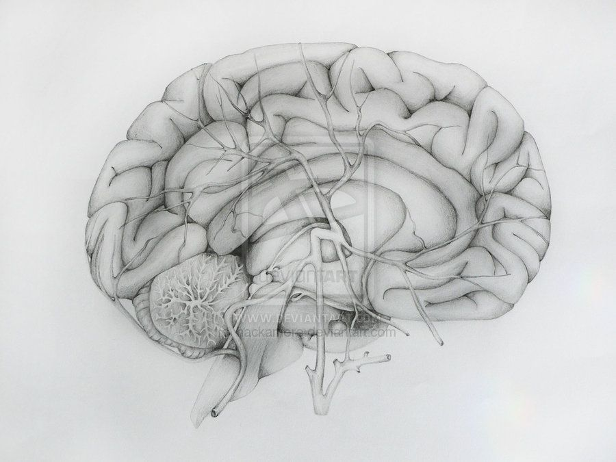 Brain anatomy by hackamore.deviantart.com on @DeviantArt