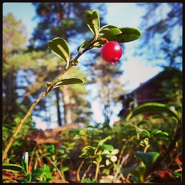 Suuri #punainen #Marja, pieni talo... #puolukka #lingonberry  #red #lonely #forest #mehtä