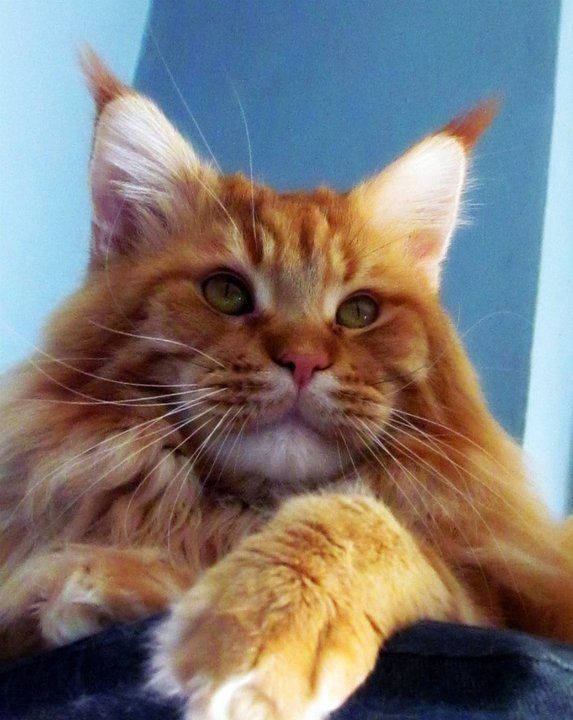 Maine Coon Ginger. Like a big teddy bear. Cat