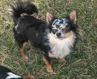 Vinny-Blue Merle long coat chihuahua