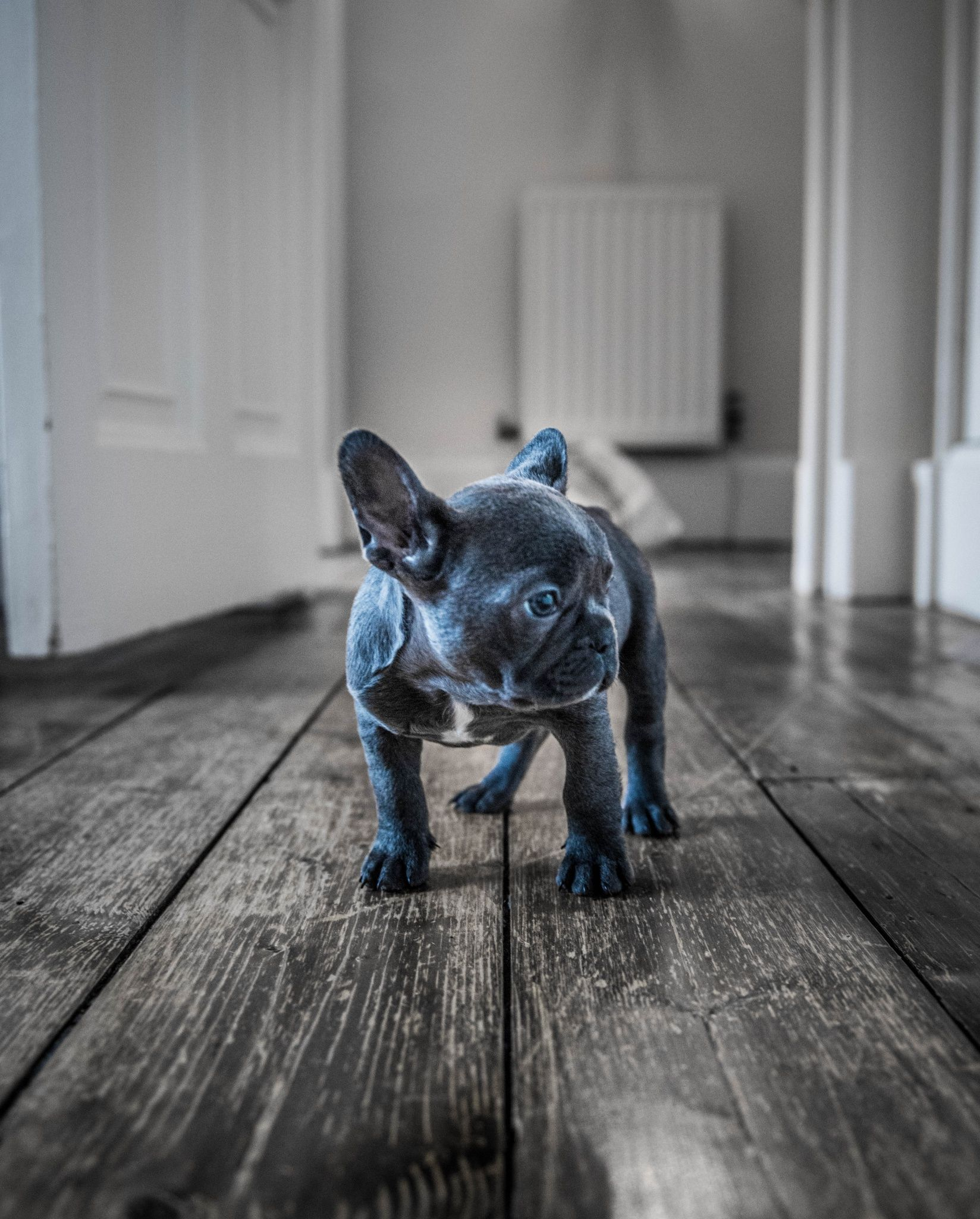 Luna The Blue Frenchie 7 Week Old Femail Blue French Bulldog