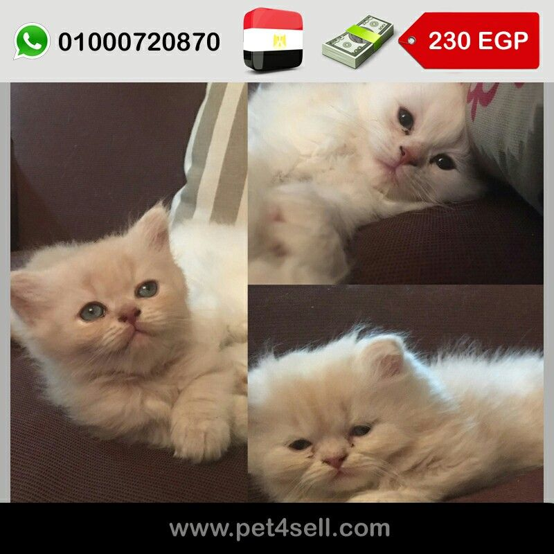 Egypt Cairo 3 Persian Kittend 1 1 2 Months Pet4sell Cats Egypt Animals