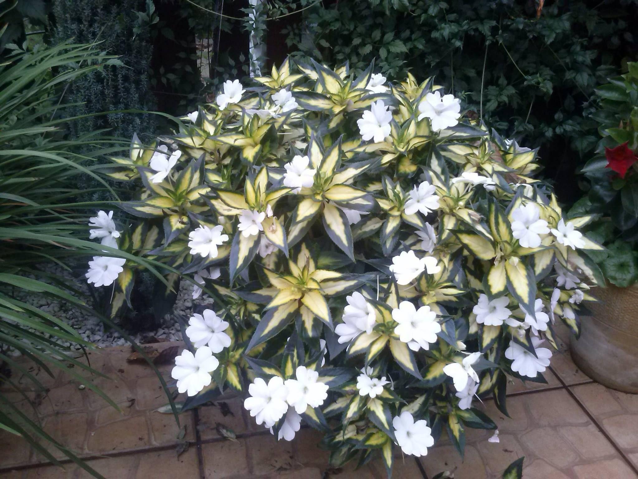 Niecierpek Sunpatiens Container Gardening Plants Garden