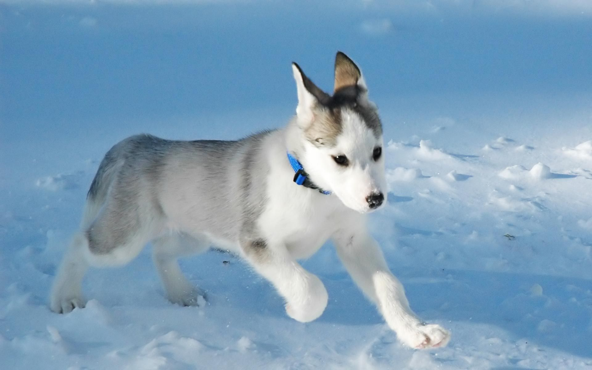 Canadian Eskimo Puppy A Rare Breed Still Recognized By The