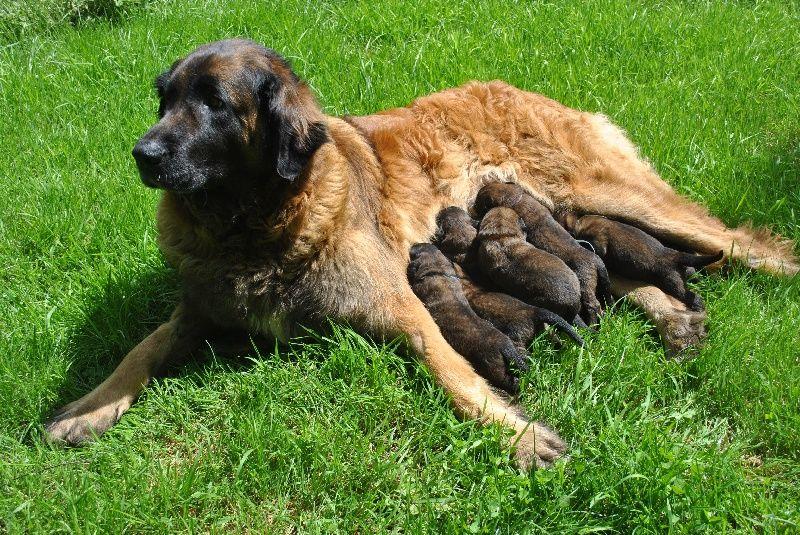 A réserver chiots Leonberg Leonberger   Puppies, Dogs, Animals