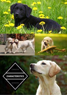 Labrador Characteristics Labrador Labrador Puppy Labrador