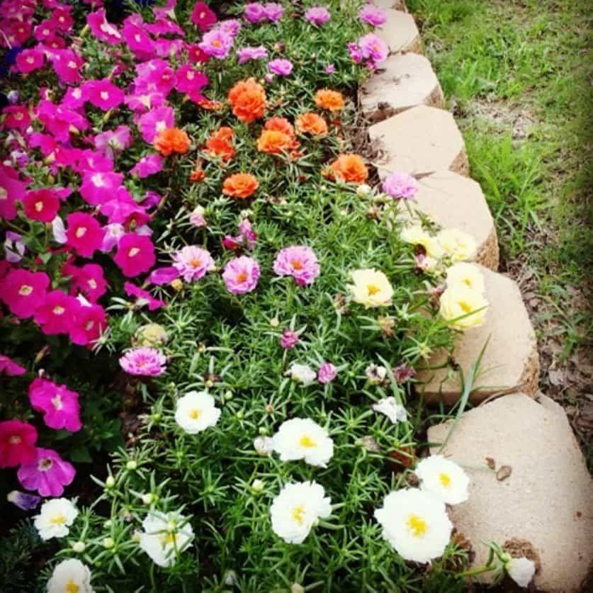 Easy To Care Moss Rose Plants In 2020 Rose Garden Design Planting Roses Rose Like Flowers