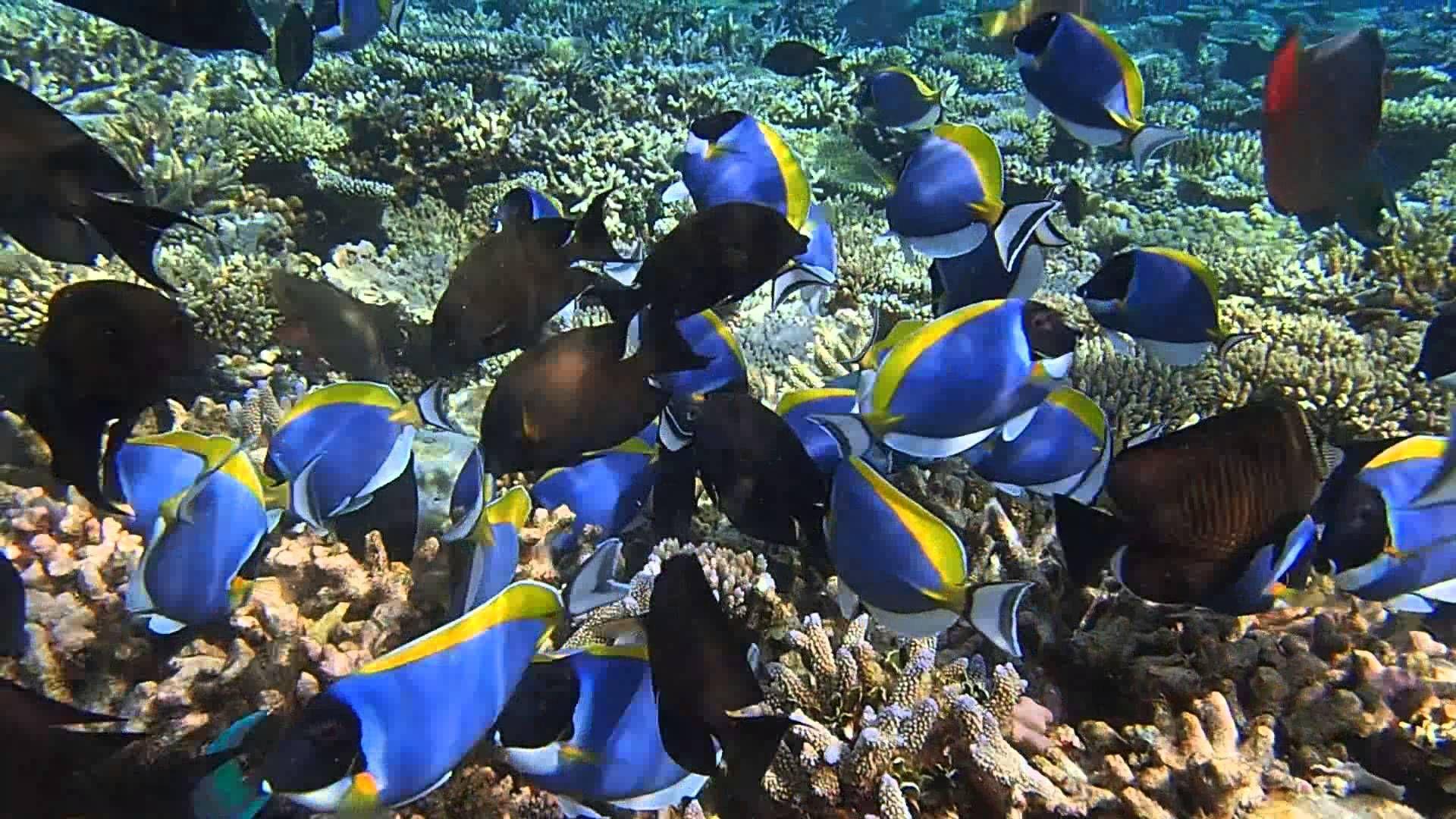 School Of Powder Blue Tang And Surgeon Fish Maldives Blue Tang Powder Blue Maldives