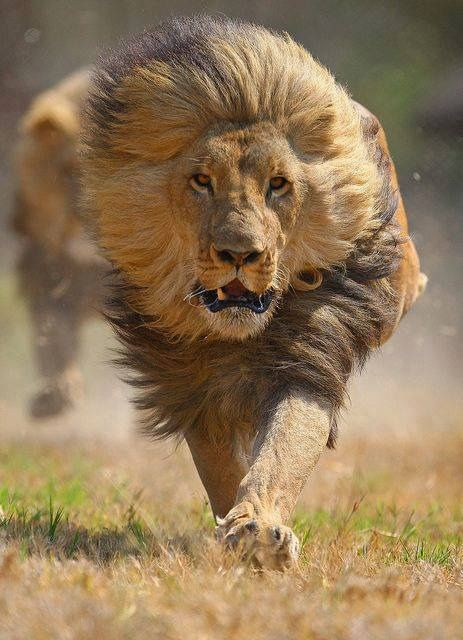 By the look of his mane he seems to be moving pretty fast toward ...