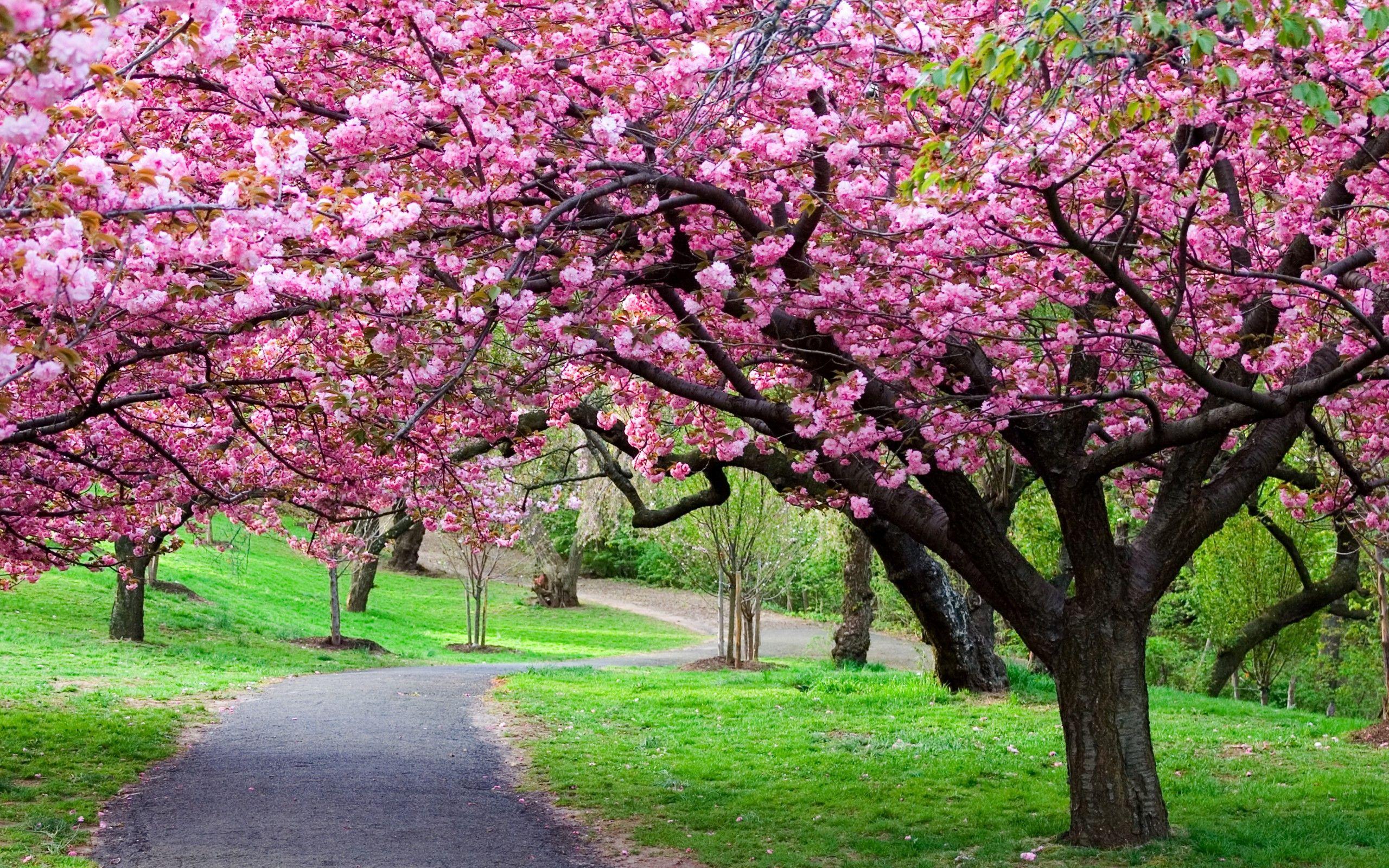 Flowering Cherries Trees Flowering Trees Blossom Trees Spring Flowering Trees