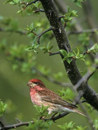New Hampshire State Bird States New Hampshire Bird Coloring