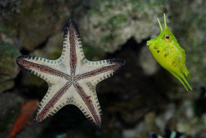 Chocolate Chip Sea Star Long Horn Cow Fish Cow Fish Saltwater Tank Saltwater Aquarium