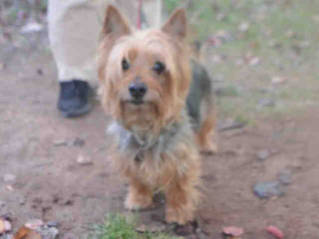 Milo A1097340 Silky Terrier Terrier Mix Pets
