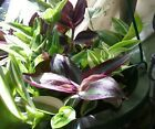 COLLECTION 4 DIFFERENT2 EACH: WANDERING JEWS:  RED PURPLE GREEN #plants #seeds #wanderingjewplant