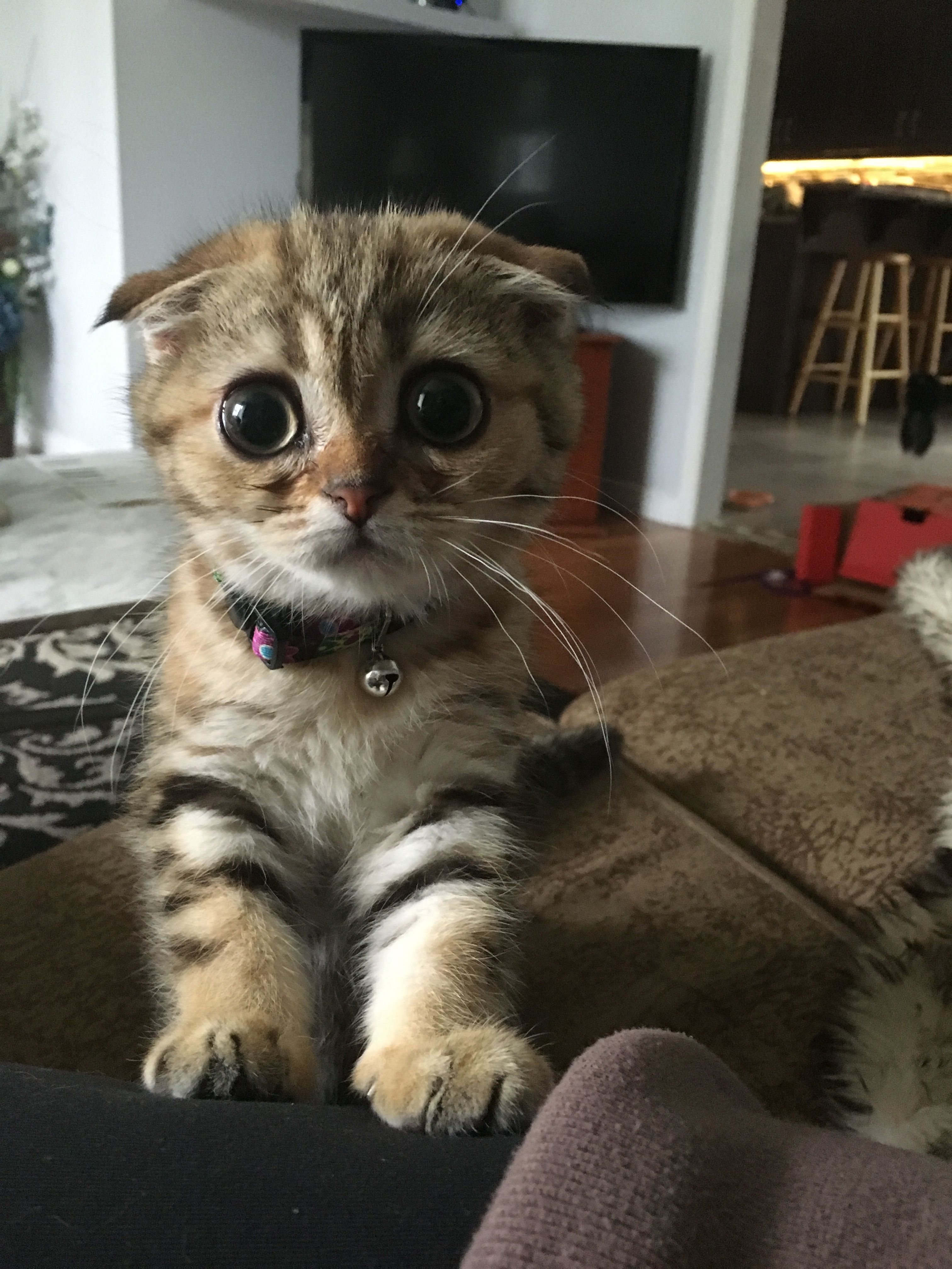 Always Guilty Helpfulharrie Source Coyotemange See: Scottish Folds Always Look Guilty Or Sorry For Something