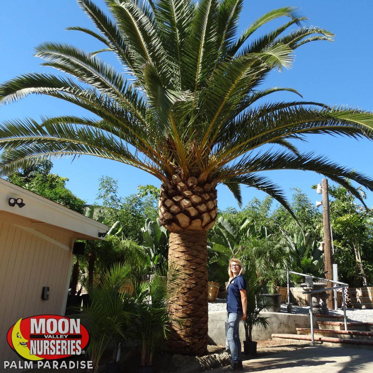 Pineapple palmcanary island date palm pineapple palm