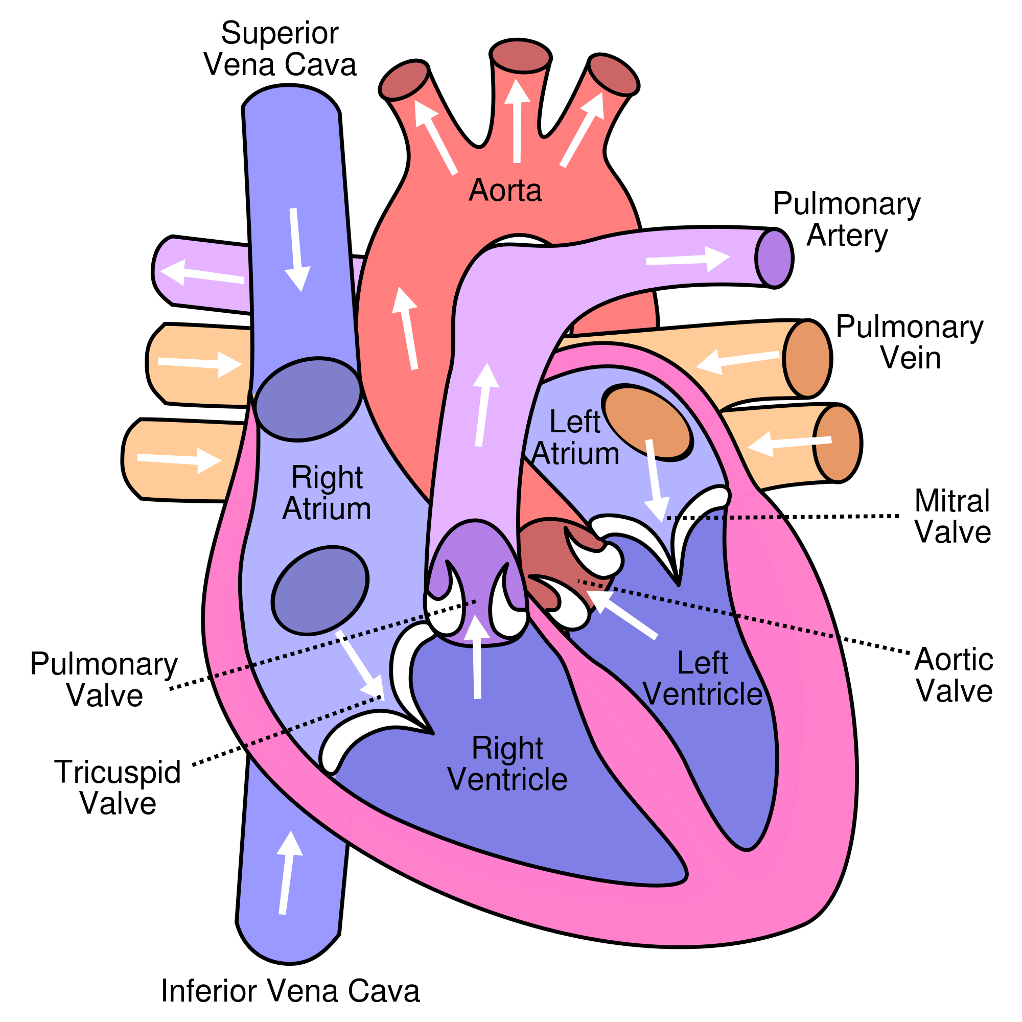 Circulatory System: Blood Flow Pathway Through the Heart ...
