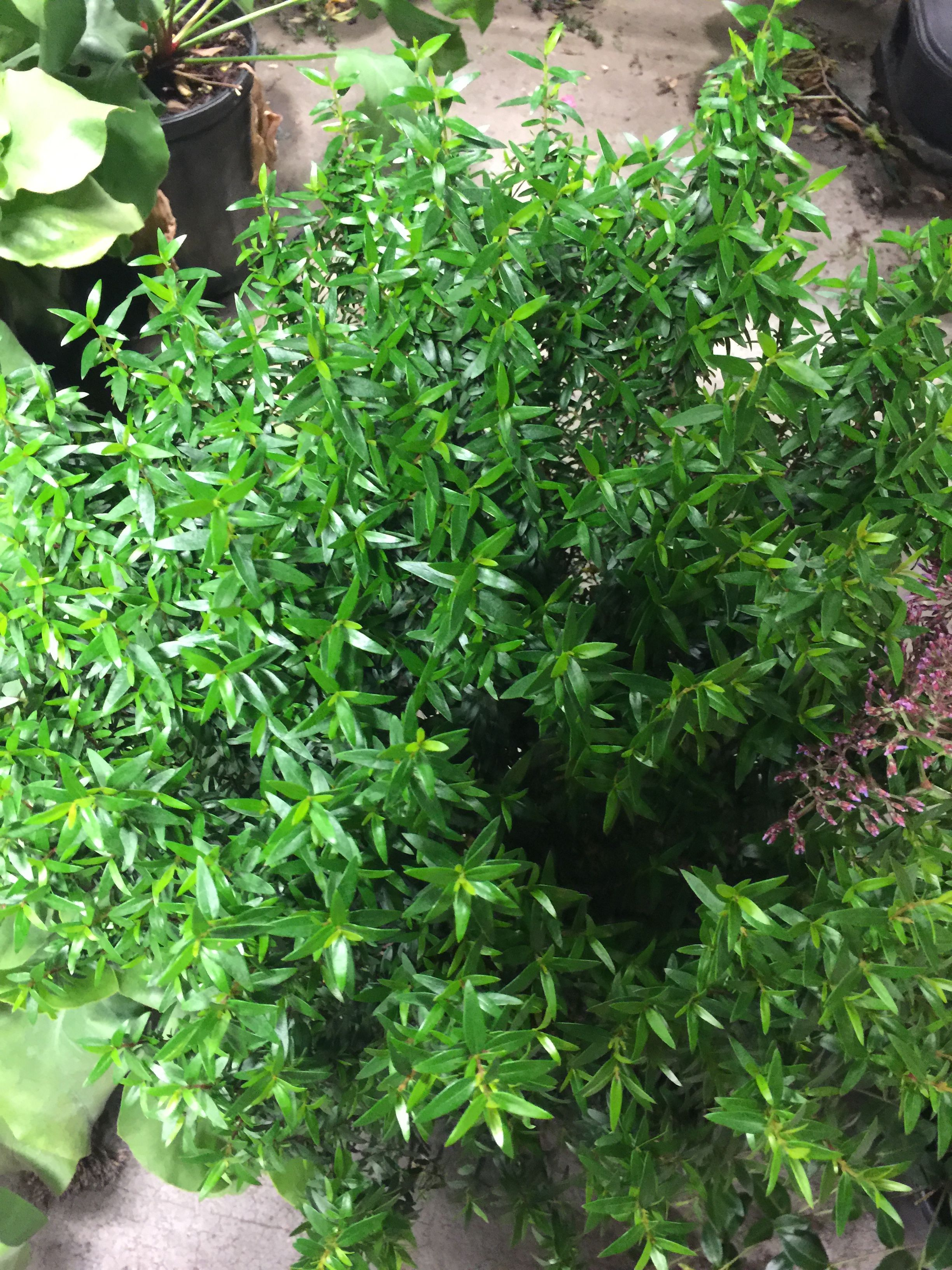 Buxus Semp Suffruticosa True Dwarf Boxw Compact Evergreen Hedge Slow Grower Photo From Hedgehome Depotdwarfcompactdwarfism