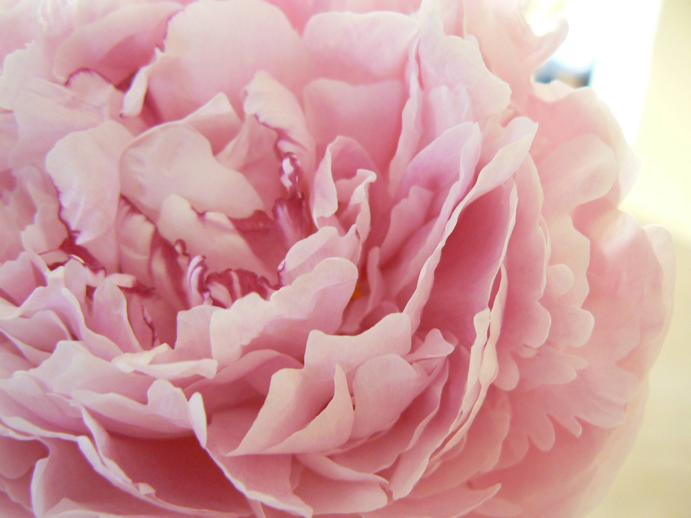 hd pink peony wallpaper free download / wallpaper database | flowers