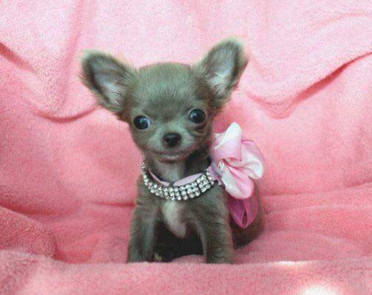Lilac Chihuahua Chihuahua Puppies Chihuahua Cute Dogs