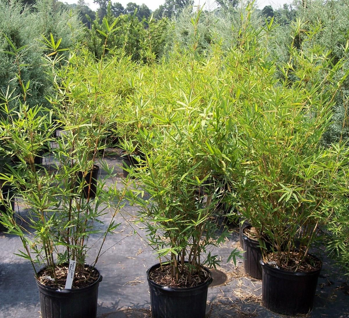 Tropical Plant Nurseries Whole Miami Florida Golden Dess Bamboo Nursery Trees Realpalmtrees