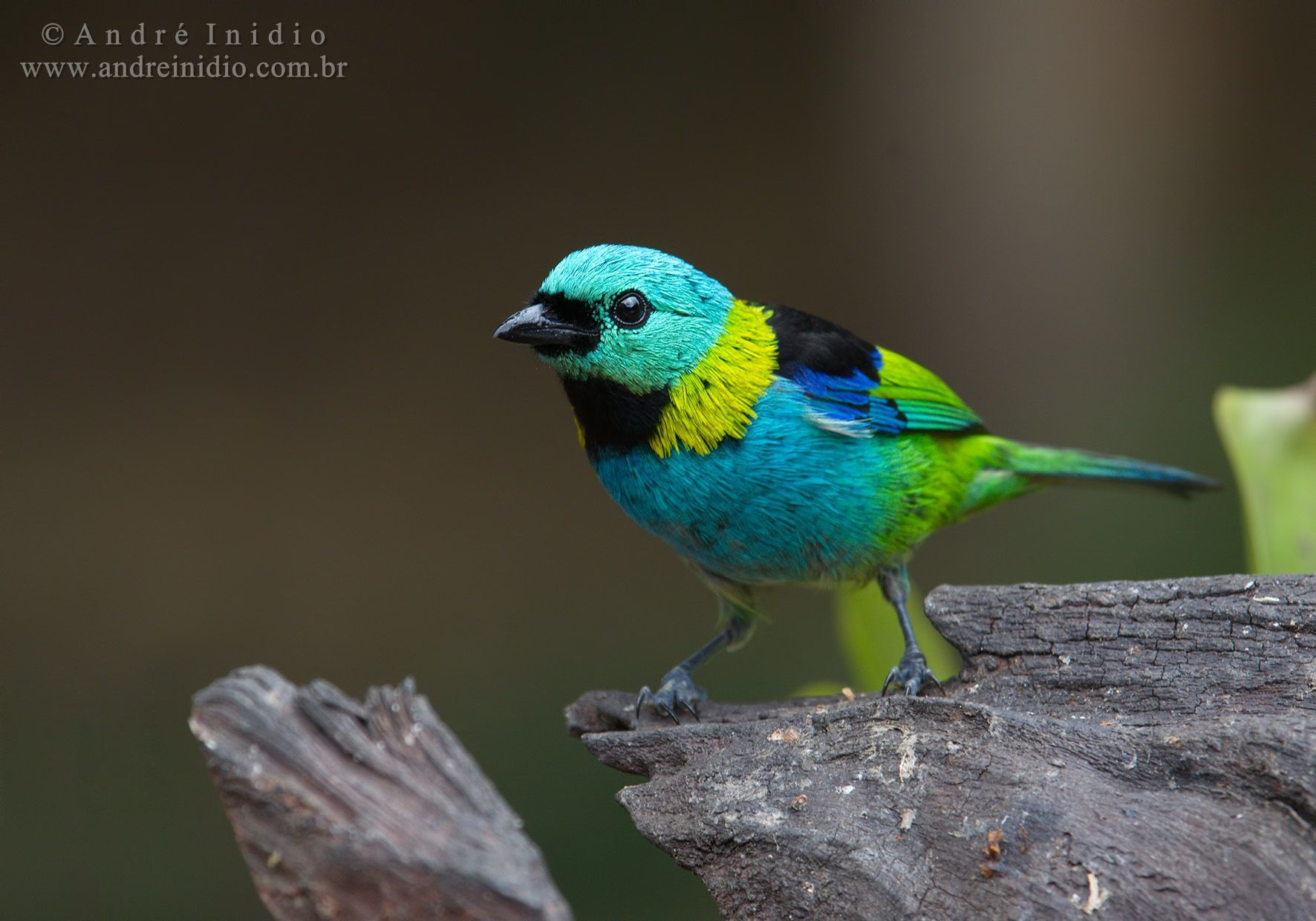 Green-headed Tanager by André Inidio on 500px