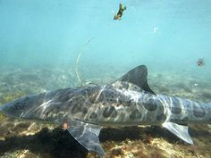 How to make friends with leopard sharks in La Jolla