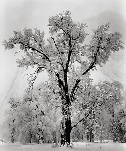 Ansel Adams, Oak Tree, Snowstorm, Yosemite National Park, California, 1948, gelatin silver print