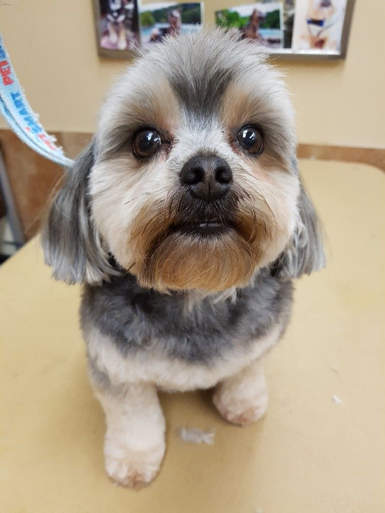 Pin By The Groomers Profit Generating Kit On Shih Tzu Grooming