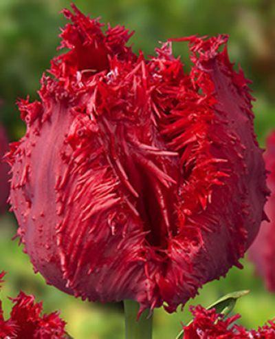 Tulipa 'Barbados'