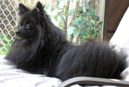 Teddy the Pomeranian