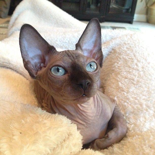 Outcross Program N O C O A T K I T T Y Devon Rex Cats Rex Cat Sphynx Cat