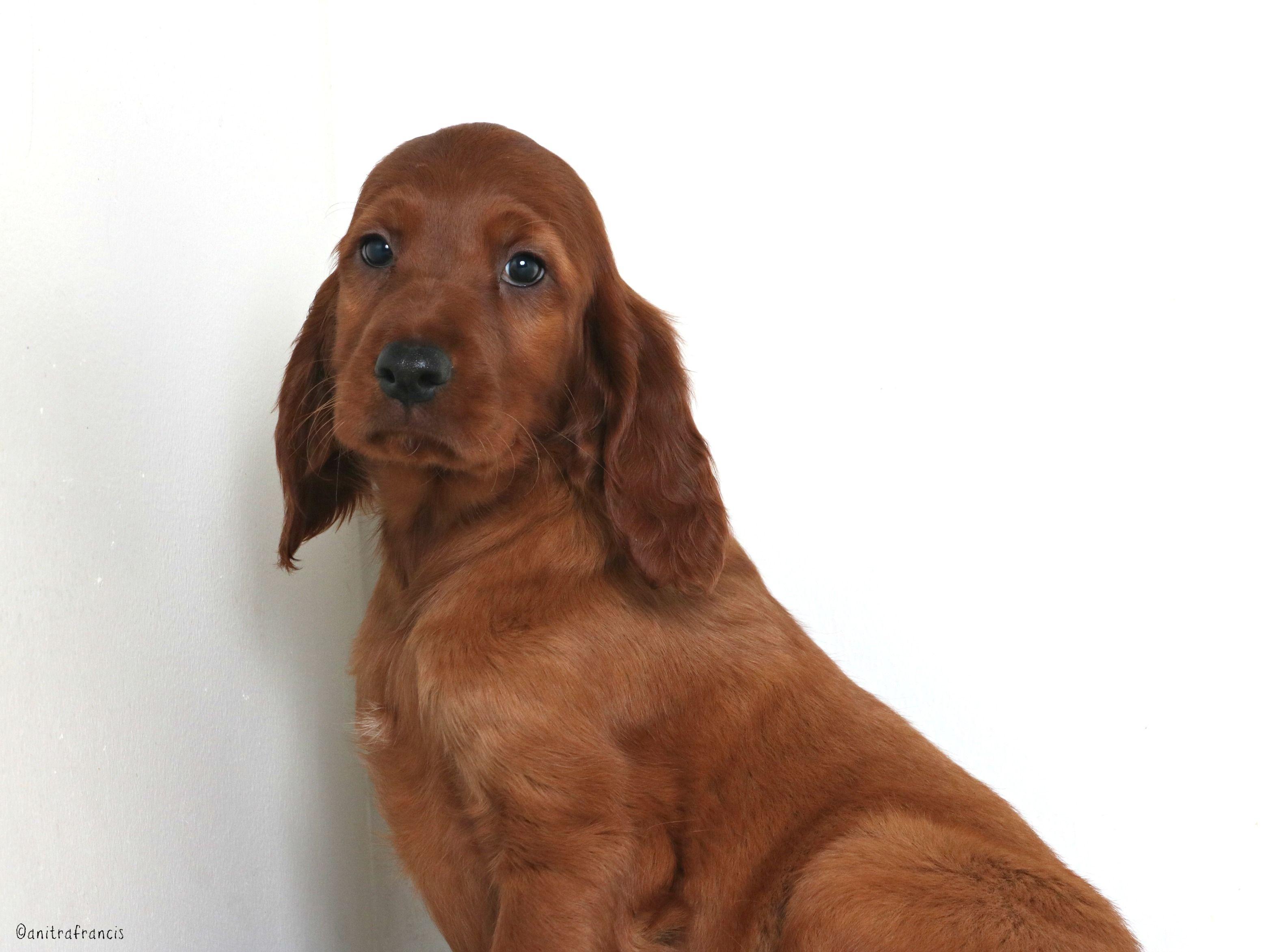 Irish Setter dog for Adoption in Eden Prairie, MN. ADN
