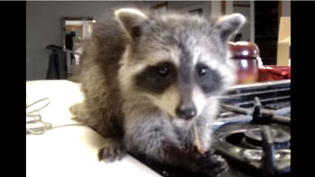 If you've never seen a baby raccoon eating a chewy snack ...