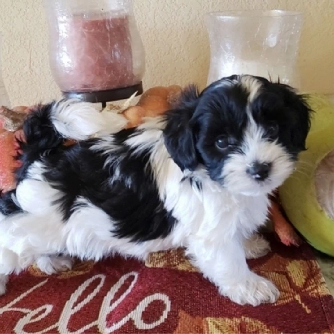 Available puppies shih tzu breeders homes in 2020 shih