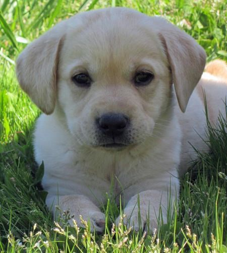 Beautiful Golden Labrador Puppies Thus Is My Favorite Doggie All