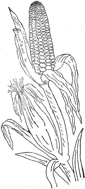 Pumpkins cornstalks and apples coloring pages ~ All sizes | 1886 Ingalls Stalk of Corn | Flickr - Photo ...