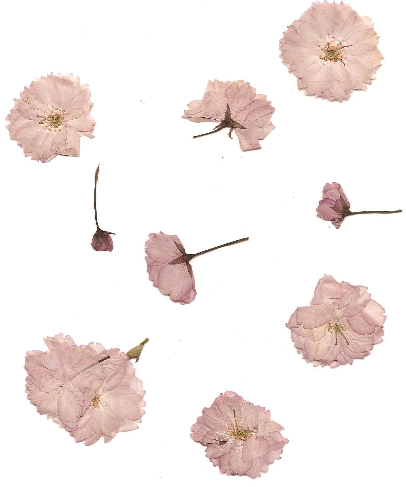 Pressed Cherry Blossoms By Lovableluma Flower Aesthetic Pressed Flowers Flowers
