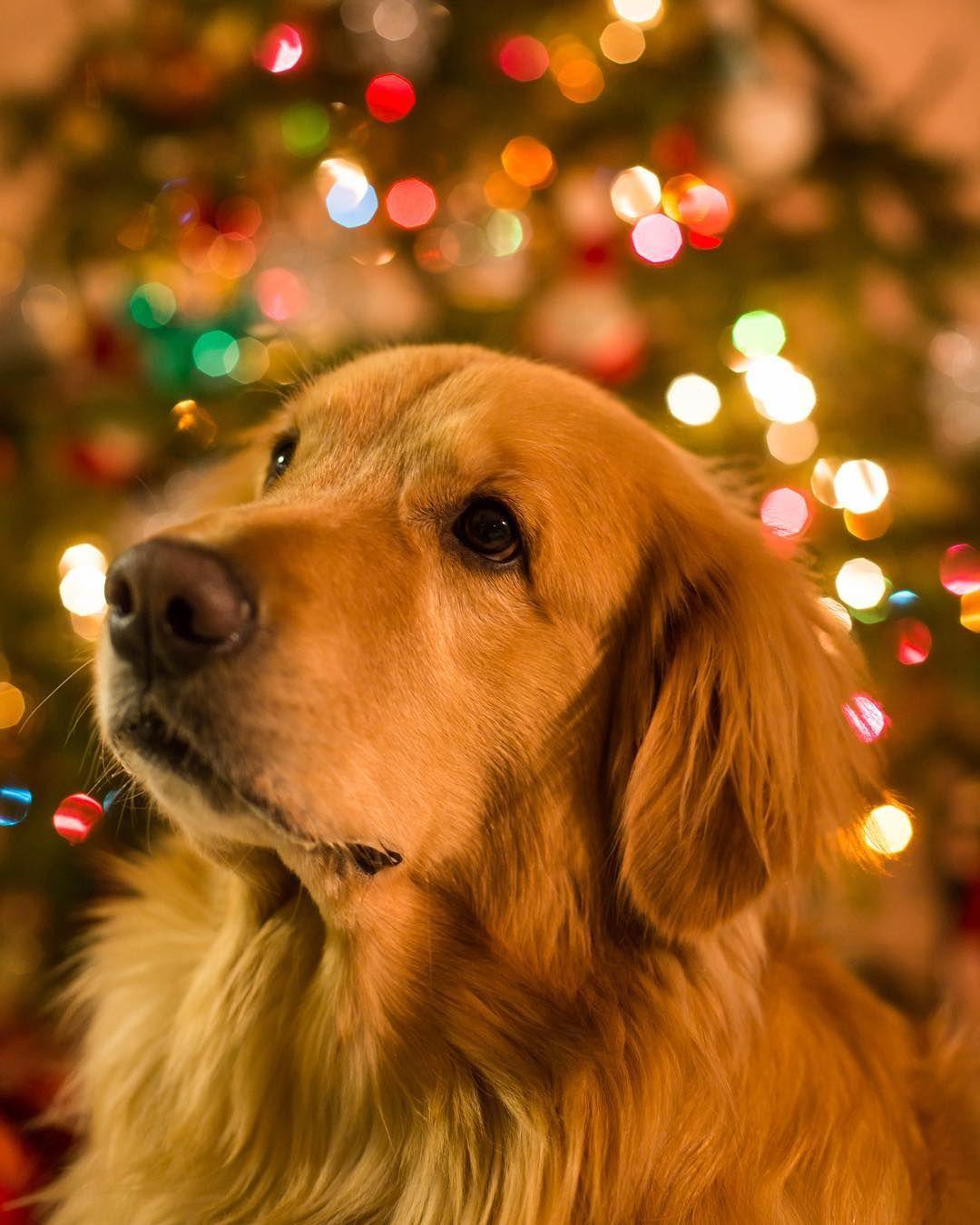 Golden Retriever Christmas Lights Bokeh Retriver Zimnie