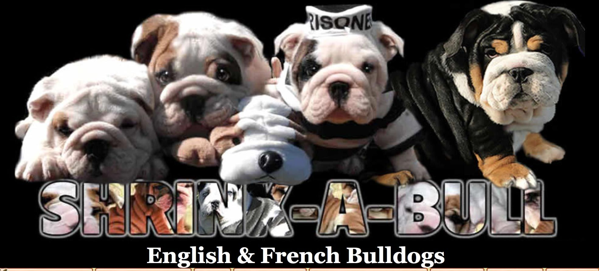 Shrinkabulls Bulldog Puppies Bulldog Puppies For Sale English