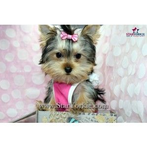 Victoria Beckham Tiny Teacup Yorkie Puppy In Los Angeles Ca Staryorki Com Yorkie Puppy For Sale Yorkie Puppy Puppies