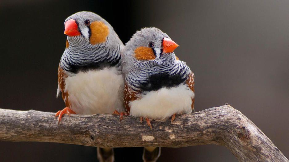 Una pista sobre como se desarrolló el habla humana fue encontrada en el laboratorio de Erich Jarvis en la Universidad Duke en Carolina del Norte, EE.UU. gracias a unos pequeños pájaros con un canto...