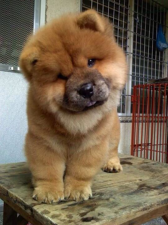 chow chow puppies=life