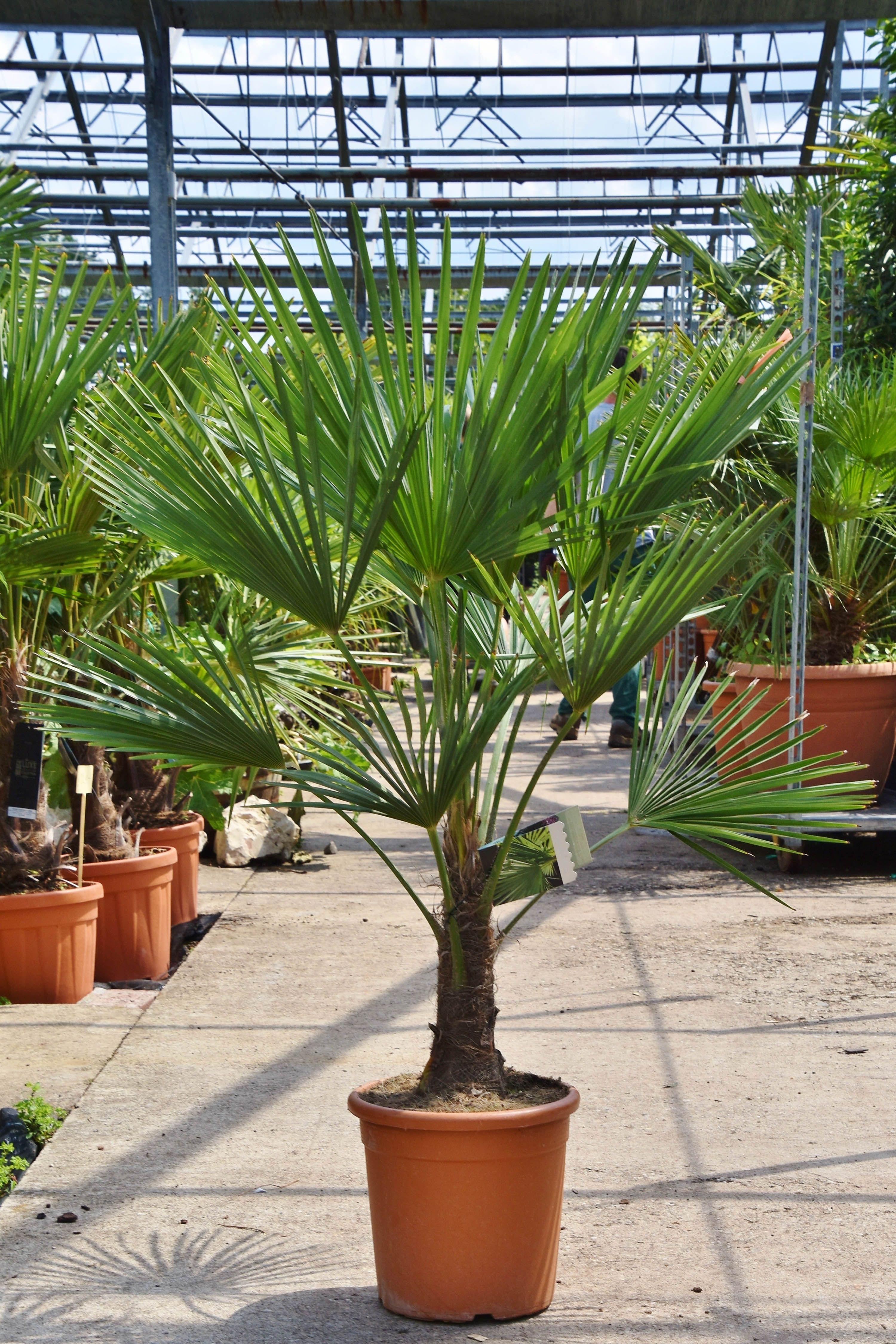 Hanfpalme Fortunei Winterhart 20 30 Stamm Hanfpalme Pflanzen Fur Zu Hause Kubelpflanzen
