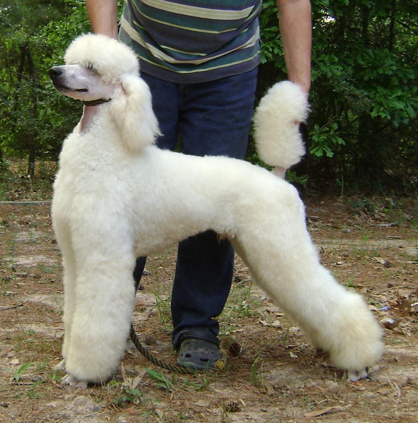 Standard White Donnchada Poodles Poodles Poodle