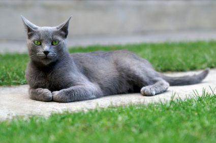 Gray Burmese Cat Burmese Cat Burmese Kittens Cat Pics