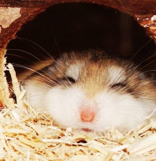 Aina välillä onnistuu näkemään nukkuvan hamsterin. Nuutti ainakin lysähtää taljaksi useammin kuin kiertyy keräksi, jos näkösillä nukkuu. Useimmiten tosin kaivaa pesäkolon tai menee pähkinään nukkumaan.