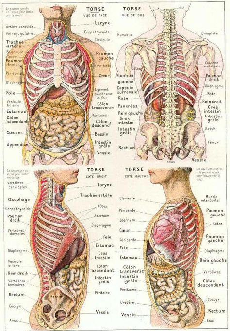 Anatomie Du Corps Humain Inspiration Human