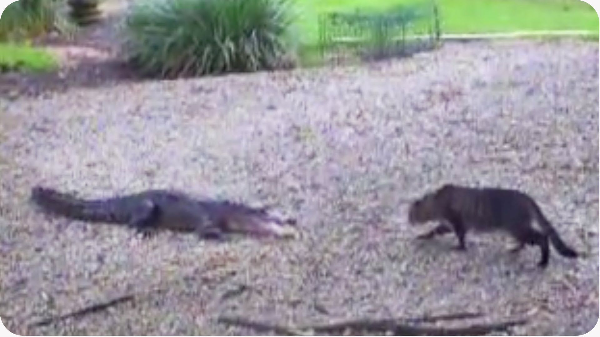 Now Who's The Scaredy Cat? Alligator vs. Housecat