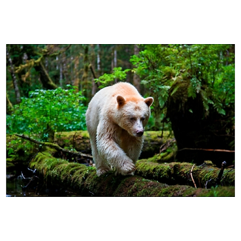 Kermode Bear Paul Nicklen Spirit Bear Kermode Bear
